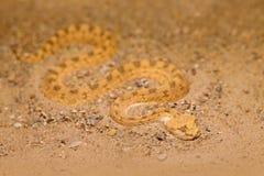 Sahara- horned ökenhuggorm, Cerastescerastes, sand, nordliga Afrika Supraorbital royaltyfria bilder