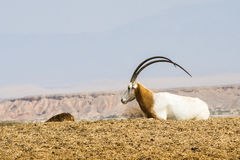 Sahara-Oryx Lizenzfreies Stockfoto