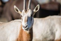 The Sahara oryx stock photo