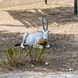 Sahara oryx Royalty Free Stock Photos