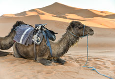 Sahara pustynny wielbłąd Obraz Stock