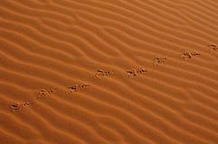 Sahara pustynnych kroki ptaka fotografia royalty free