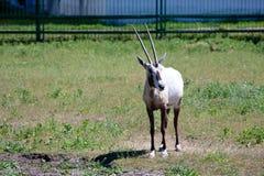 Sahara scimitar Oryx in National park Stock Image