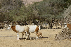 Sahara scimitar Oryx in nature reserve Stock Photos