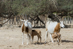 Sahara scimitar Oryx in nature reserve Royalty Free Stock Photo