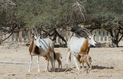 Sahara scimitar Oryx in nature reserve Royalty Free Stock Image