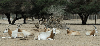 Sahara scimitar Oryx in nature reserve Stock Image