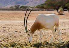 Sahara scimitar Oryx (Oryx leucoryx) Stock Photos