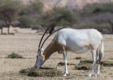 Sahara scimitar Oryx (Oryx leucoryx) Royalty Free Stock Image