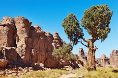 Saharan Cypress, Tassili N'Ajjer, Algeria Royalty Free Stock Photo
