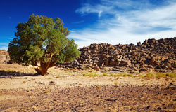 Saharan Cypress, Tassili N'Ajjer, Algeria Royalty Free Stock Images