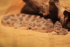 Saharan gehoornde adder Stock Afbeelding