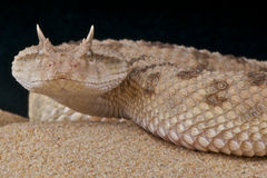 Saharan horned viper Royalty Free Stock Photos