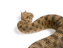 Saharan horned viper against white background Royalty Free Stock Image