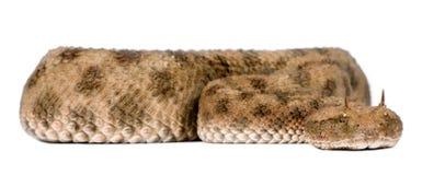 Saharan horned viper - Cerastes cerastes Royalty Free Stock Image