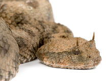 Saharan horned viper - Cerastes cerastes Royalty Free Stock Photo