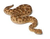 Saharan horned viper - Cerastes cerastes Stock Image