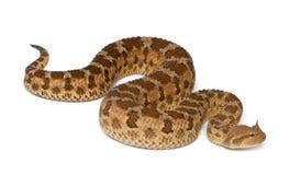 Saharan horned viper - Cerastes cerastes Stock Images
