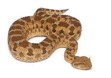 Saharan horned viper - Cerastes cerastes Stock Photography