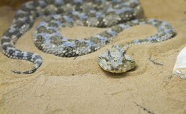 Saharan horned viper (Cerastes cerastes) in the sand Royalty Free Stock Photography