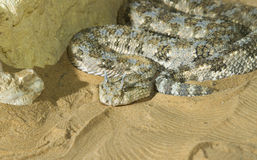 Saharan horned viper (Cerastes cerastes) in the sand Royalty Free Stock Photo