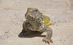Saharan Ogoniasta jaszczurka, Maroko Fotografia Stock
