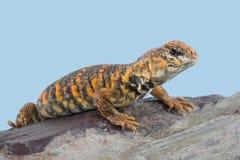 Saharan Spiny Ogoniasta jaszczurka Uromastyx Geyri zdjęcia stock