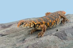 Saharan Spiny Tailed Lizard Uromastyx geyri Stock Images