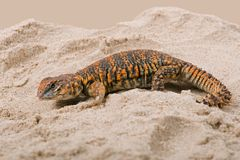 Saharan Spiny Tailed Lizard Uromastyx Geyri royalty free stock photography