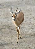 Saharawi Dorcas Gazelle Stock Photo