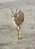 saharawi gazelle dorcas стоковое фото