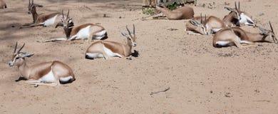 Saharian Dorcas Gazelles på sand arkivbilder