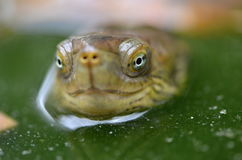 Saharica leprosa Mauremys Стоковая Фотография RF