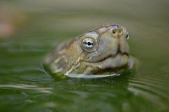Saharica leprosa Mauremys Стоковое фото RF