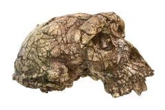 Sahelanthropus tchadensis头骨Toumai 在2001年发现在Djurab沙漠在北乍得,中非 约会到7-6 库存照片