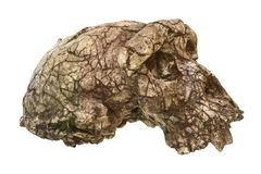 Sahelanthropus tchadensis Skull Toumai . Discovered in 2001 in Djurab desert in Northern Chad , Central africa . Dated to 7-6 stock photo