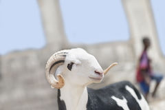 Sahelian Ram with a black and white coat. Sahelian Ram with a black and white  coat Stock Photo
