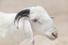 Sahelian Ram with a white coat. Sahelian Ram with a white  coat Royalty Free Stock Photography