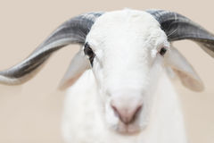 Sahelian Ram with a white coat. Sahelian Ram with a white  coat Royalty Free Stock Images