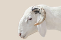 Sahelian Ram with a white coat. Sahelian Ram with a white  coat Royalty Free Stock Photos