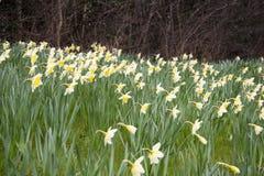 Sahne- und gelbe daffodills Stockbild