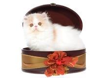 Sahne und weißes persisches Kätzchen im Geschenkkasten Stockfotografie