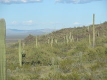 Saguaro Cactus Forest Royalty Free Stock Image