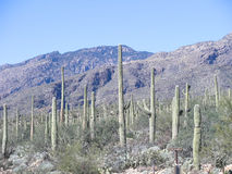Sahuaro Cactus Stock Photos