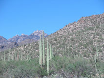 Sahuaro kaktus Royaltyfri Foto