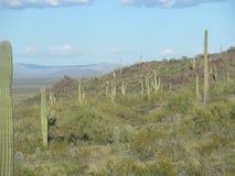 Sahuaro kaktusskog Royaltyfri Bild