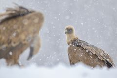 Sai Arrea. Griffon Vulture Gyps fulvus in the snow. Cremenes León Royalty Free Stock Images