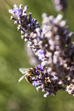 Said the bee : after this flower I go on vacation ... royalty free stock photos