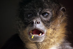 She Said What?. Closeup of a Spider Monkey against a dark background Royalty Free Stock Photo