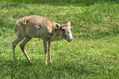 Saiga Stock Photo
